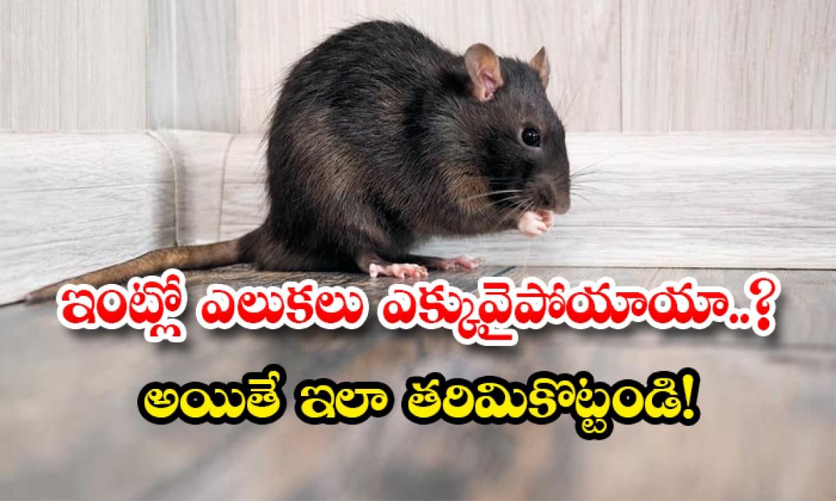 How To Get Rid Of Rats In House-ఇంట్లో ఎలుకలు ఎక్కువైపోయాయా..అయితే ఇలా తరిమికొట్టండి-Latest News - Telugu-Telugu Tollywood Photo Image-TeluguStop.com