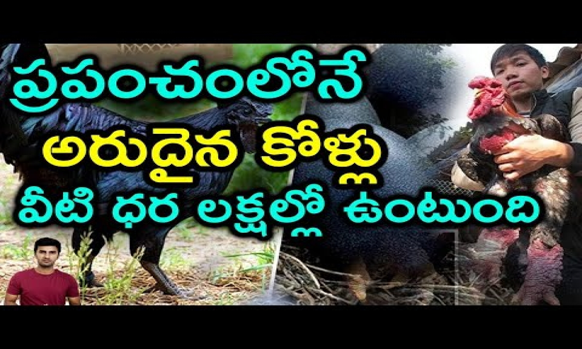 Top 5 Rarest Chicken Breeds In The World |telugu Facts-TeluguStop.com
