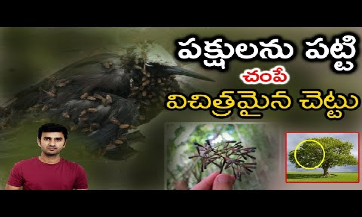 Pisonia Tree : The Bird Killing Tree   telugu Facts-TeluguStop.com