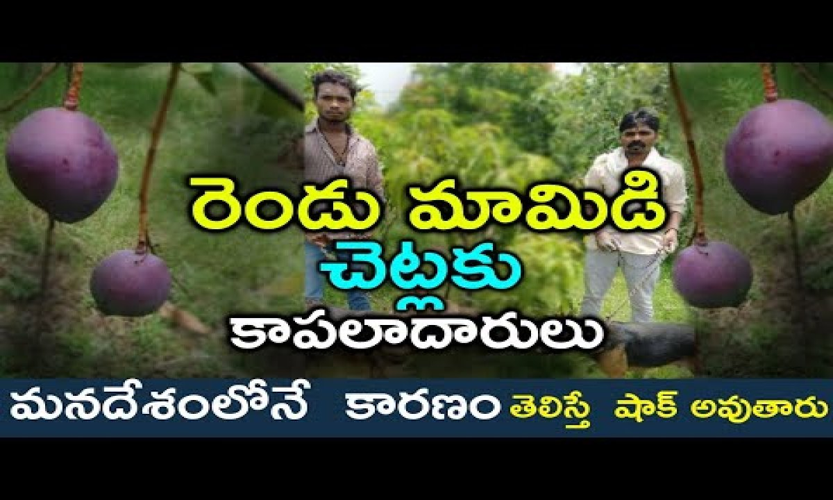 Couple Hires 4 Security Guards,6 Dogs To Protect Two Mango Trees  రెండు మామిడి చెట్లకి కాపలాదారులు-Couple Hires 4 Security Guards,6 Dogs To Protect Two Mango Trees రెండు మామిడి చెట్లకి కాపలాదారులు-Telugu Trending Viral Videos-Telugu Tollywood Photo Image-TeluguStop.com