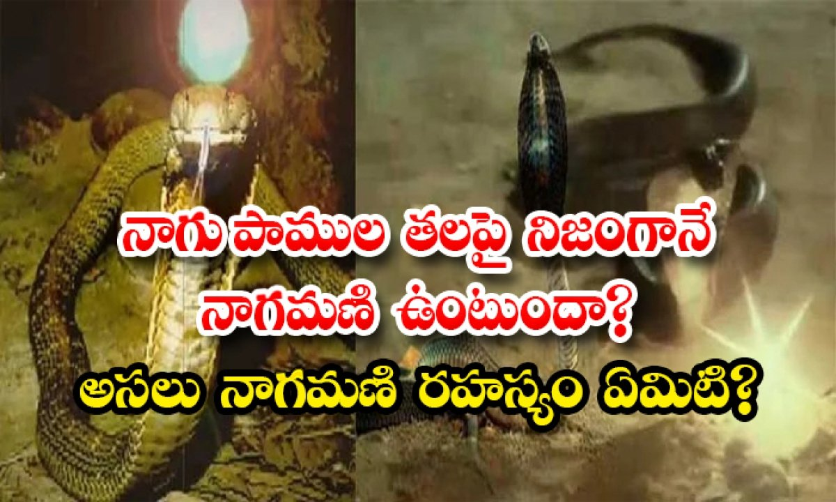 Does A Snake Really Have A Naga On Its Head What Is The Real Nagmani Secret-TeluguStop.com