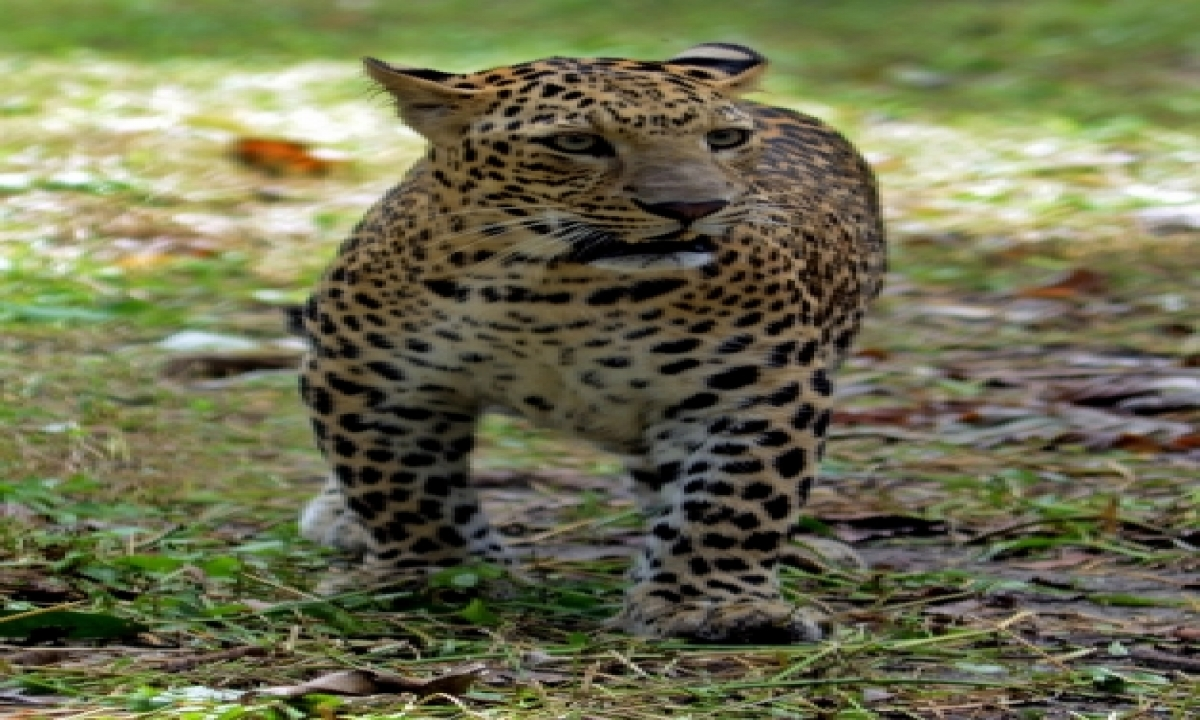 Leopards Up From 7,910 To 12,852 In India's Tiger Range Landscapes-TeluguStop.com
