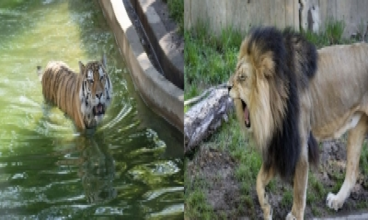 Lions, Tigers In Us Zoo Test Presumptive Positive For Covid-TeluguStop.com