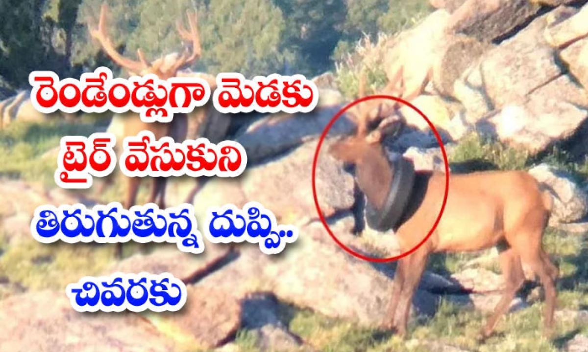 A Moose With A Tire Around Its Neck To The End-రెండేండ్లుగా మెడకు టైర్ వేసుకుని తిరుగుతున్న దుప్పి.. చివరకు-General-Telugu-Telugu Tollywood Photo Image-TeluguStop.com