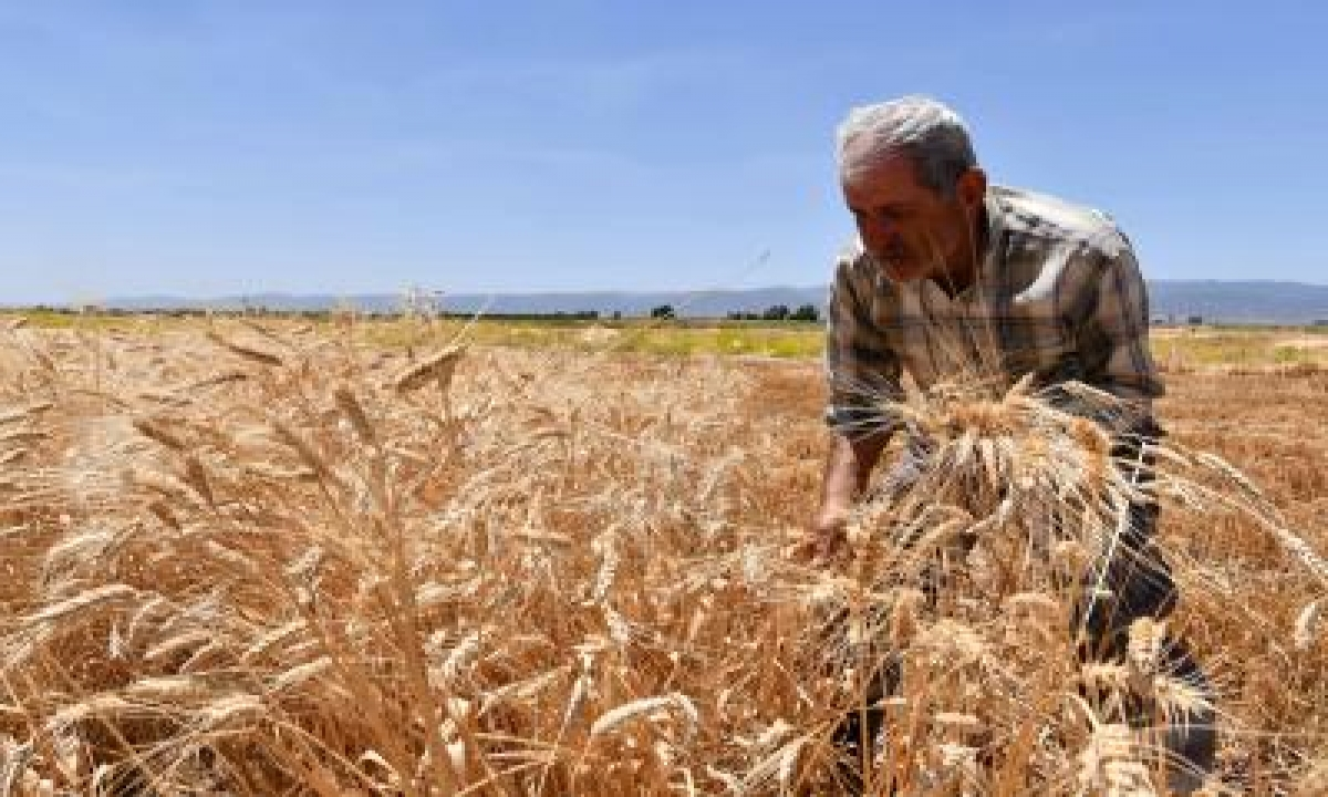 New Wheat Varieties High In Nutrition, Low On Sugar-TeluguStop.com