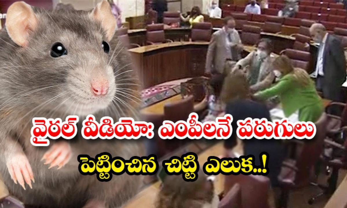 Viral Video Praliament Members In Spain Runs Seeing The Rat-వైరల్ వీడియో: ఎంపీలనే పరుగులు పెట్టించిన చిట్టి ఎలుక..-General-Telugu-Telugu Tollywood Photo Image-TeluguStop.com