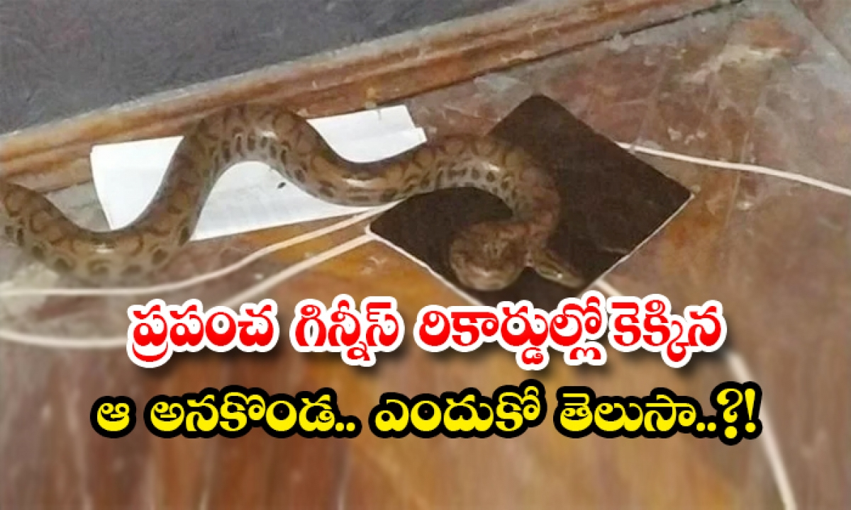 A Python Snake Is Get Guinness World Record Because Of Its Birth-ప్రపంచ గిన్నీస్ రికార్డుల్లో కెక్కిన ఆ అనకొండ.. ఎందుకో తెలుసా..-General-Telugu-Telugu Tollywood Photo Image-TeluguStop.com