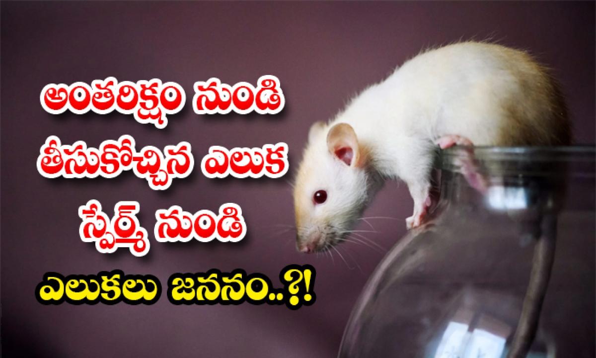 Rat Sperm Bought From Space Give Birth To 168 Rats-అంతరిక్షం నుండి తీసుకోచ్చిన ఎలుక స్పేర్మ్ నుండి ఎలుకలు జననం..-General-Telugu-Telugu Tollywood Photo Image-TeluguStop.com