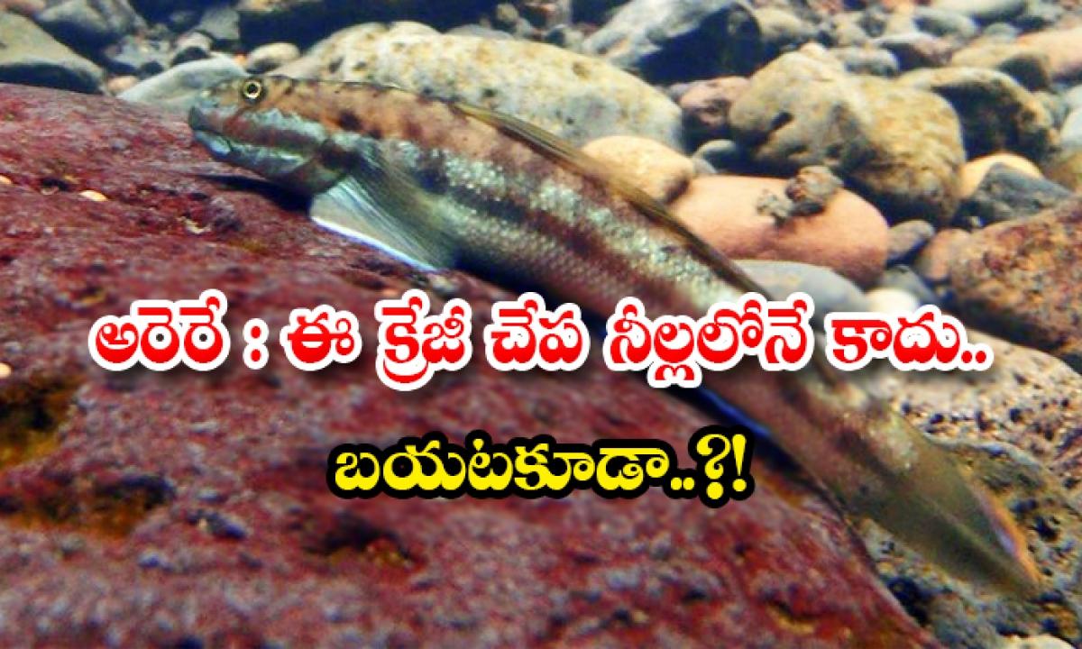 This Crazy Hawaii Fish Can Climb Cliffs Also-అరెరే: ఈ క్రేజీ చేప నీల్లలోనే కాదు.. బయటకూడా..-General-Telugu-Telugu Tollywood Photo Image-TeluguStop.com
