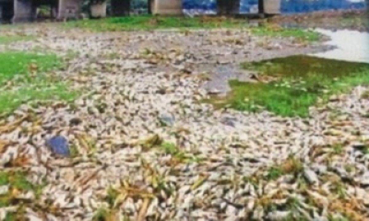 Thousands Ofdead Fish Found Floating In Yamuna-TeluguStop.com