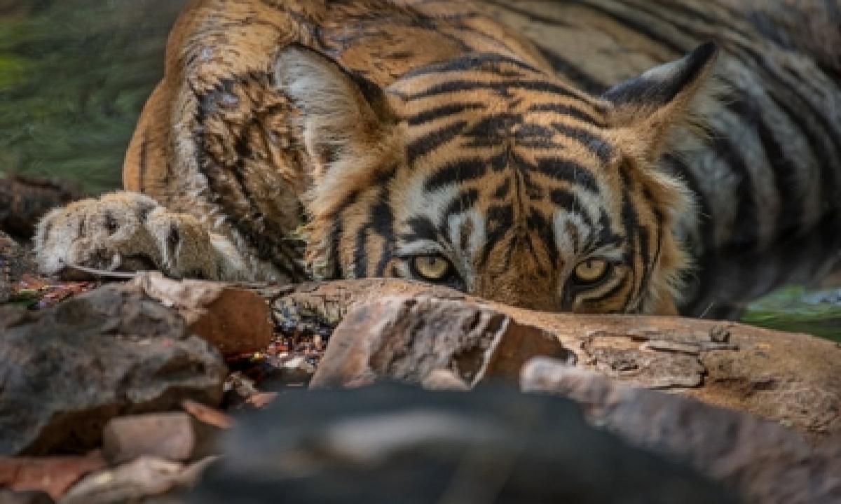 Tiger Mdt23 Seen On Camera Finally, Tn Forest Department Speeds Up Combing – Chennai   Tamil   Kollywood Kerala   Malayalam   Mollywood News   National,showcase,environment/wildlife-TeluguStop.com
