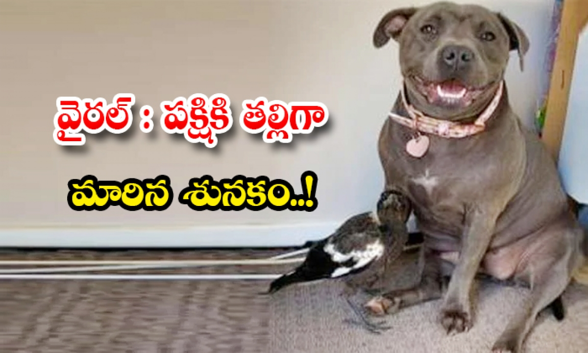 Viral A Dog Behaves As Mother To A Bird In Australia Queensland-వైరల్: పక్షికి తల్లిగా మారిన శునకం..-General-Telugu-Telugu Tollywood Photo Image-TeluguStop.com