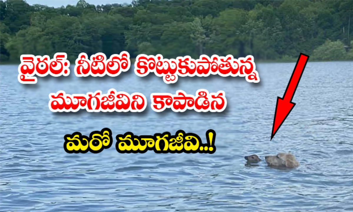 Viral Dog Saved The Deer Cub In The River-వైరల్: నీటిలో కొట్టుకుపోతున్న మూగజీవిని కాపాడిన మరో మూగజీవి..-General-Telugu-Telugu Tollywood Photo Image-TeluguStop.com