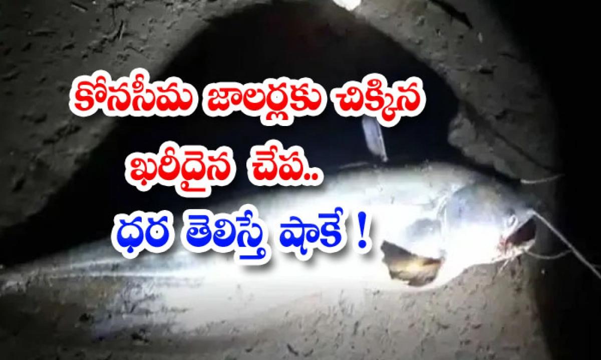 Expensive Fish Entangled For Konaseema Fishermen Shock If You Know The Price-కోనసీమ జాలర్లకు చిక్కిన ఖరీదైన చేప.. ధర తెలిస్తే షాకే-General-Telugu-Telugu Tollywood Photo Image-TeluguStop.com
