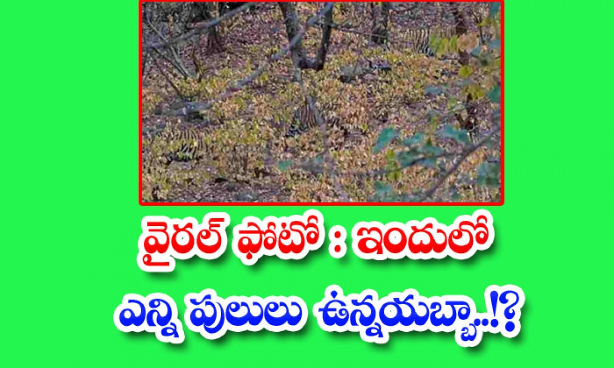 Viral Photo How Many Tigers Are There In This-వైరల్ ఫోటో: ఇందులో ఎన్ని పులులు ఉన్నయబ్బా..-General-Telugu-Telugu Tollywood Photo Image-TeluguStop.com