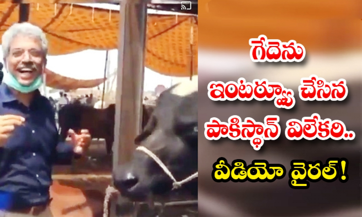 Viral Video Pakistan Journalist Amin Interviews Buffalo-గేదెను ఇంటర్వ్యూ చేసిన పాకిస్థాన్ విలేకరి.. వీడియో వైరల్ -General-Telugu-Telugu Tollywood Photo Image-TeluguStop.com