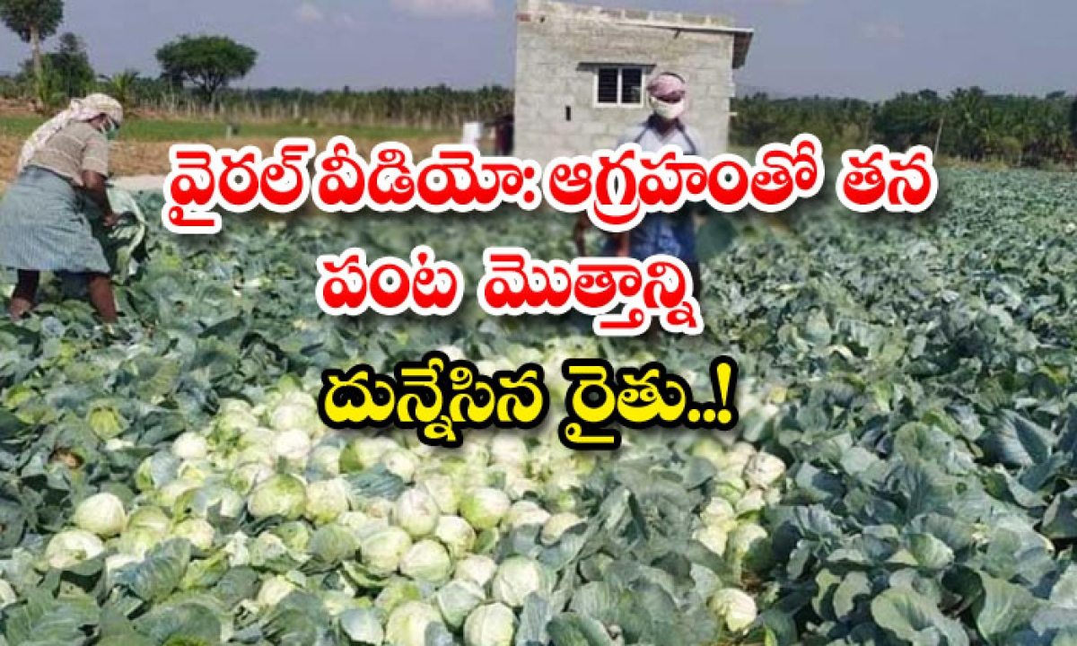 Viral Video Farmer Plows His Entire Crop With Anger-వైరల్ వీడియో: ఆగ్రహంతో తన పంట మొత్తాన్ని దున్నేసిన రైతు..-Breaking/Featured News Slide-Telugu Tollywood Photo Image-TeluguStop.com