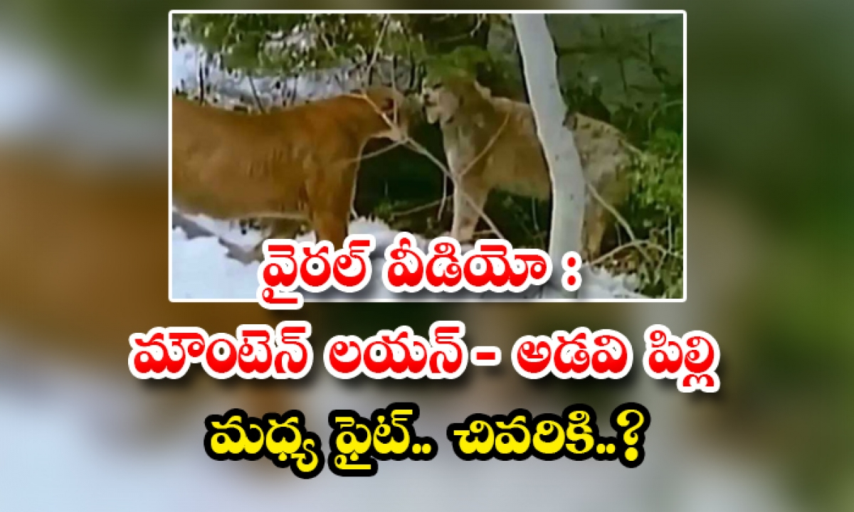 Viral Video Mountain Lion Forest Cat Fight At Last-వైరల్ వీడియో : మౌంటెన్ లయన్ – అడవి పిల్లి మధ్య ఫైట్.. చివరికి..-General-Telugu-Telugu Tollywood Photo Image-TeluguStop.com