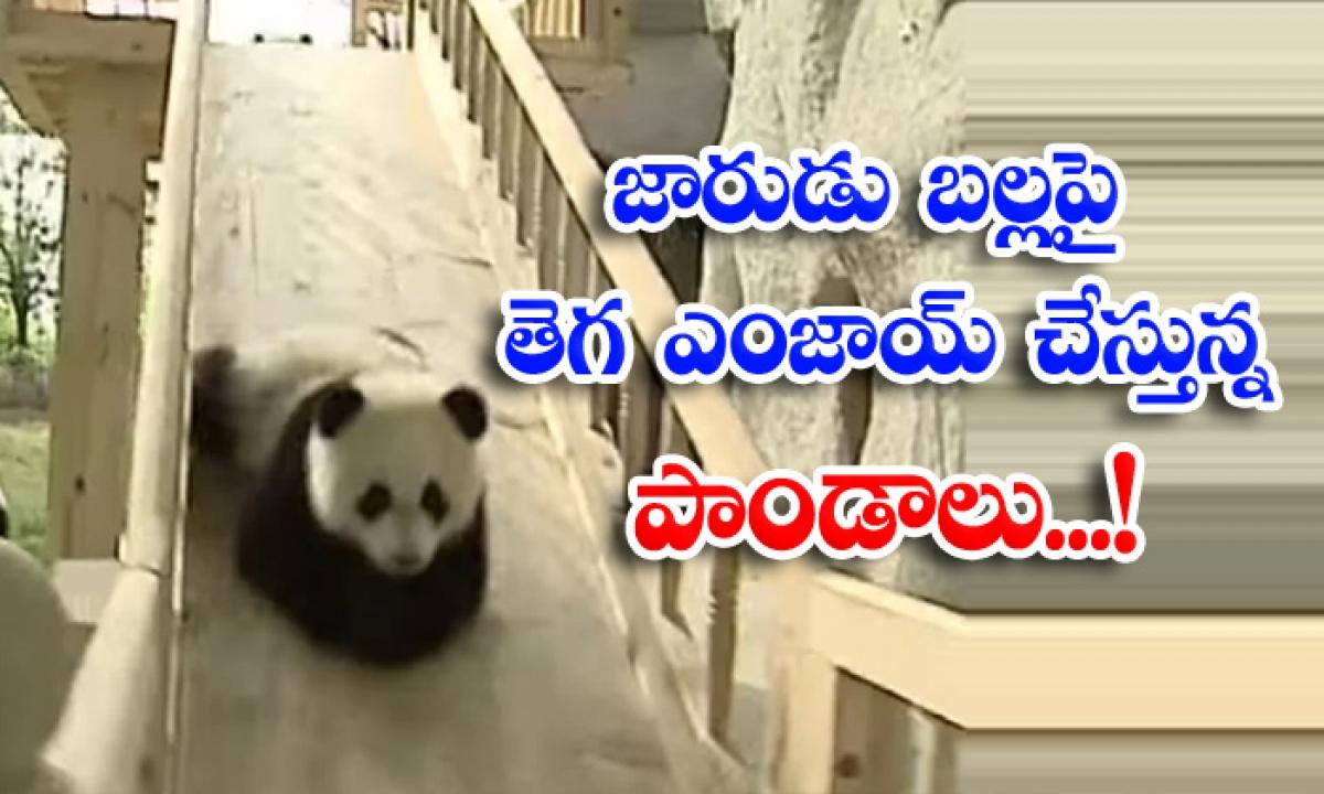 Viral Video Viral Latest Social Meida Pands Slide-వైరల్ వీడియో: జారుడు బల్లపై జారుతూ తెగ ఎంజాయ్ చేస్తున్న పాండాలు..-General-Telugu-Telugu Tollywood Photo Image-TeluguStop.com