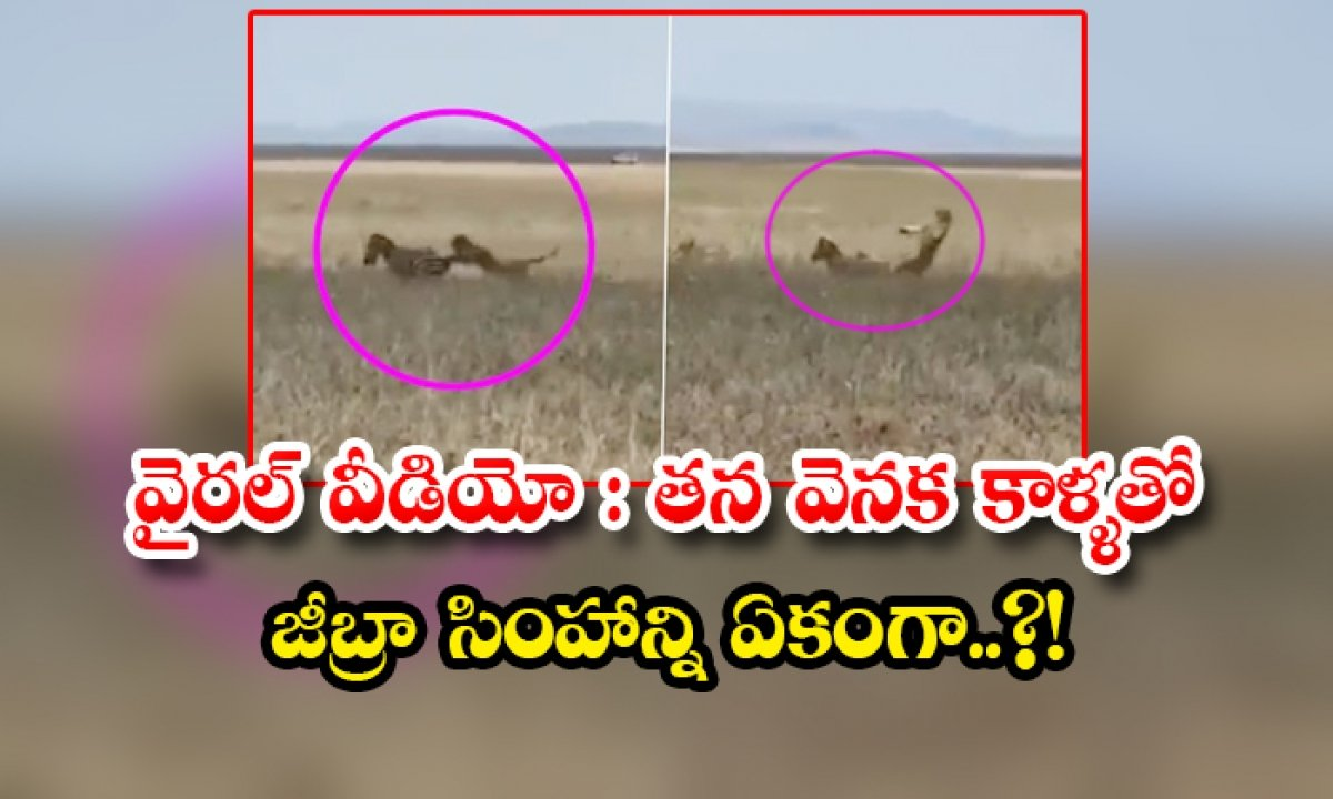 Viral Video Zebra Kicks The Lion With Its Two Back Legs-వైరల్ వీడియో: తన వెనక కాళ్ళతో జీబ్రా సింహాన్ని ఏకంగా..-General-Telugu-Telugu Tollywood Photo Image-TeluguStop.com