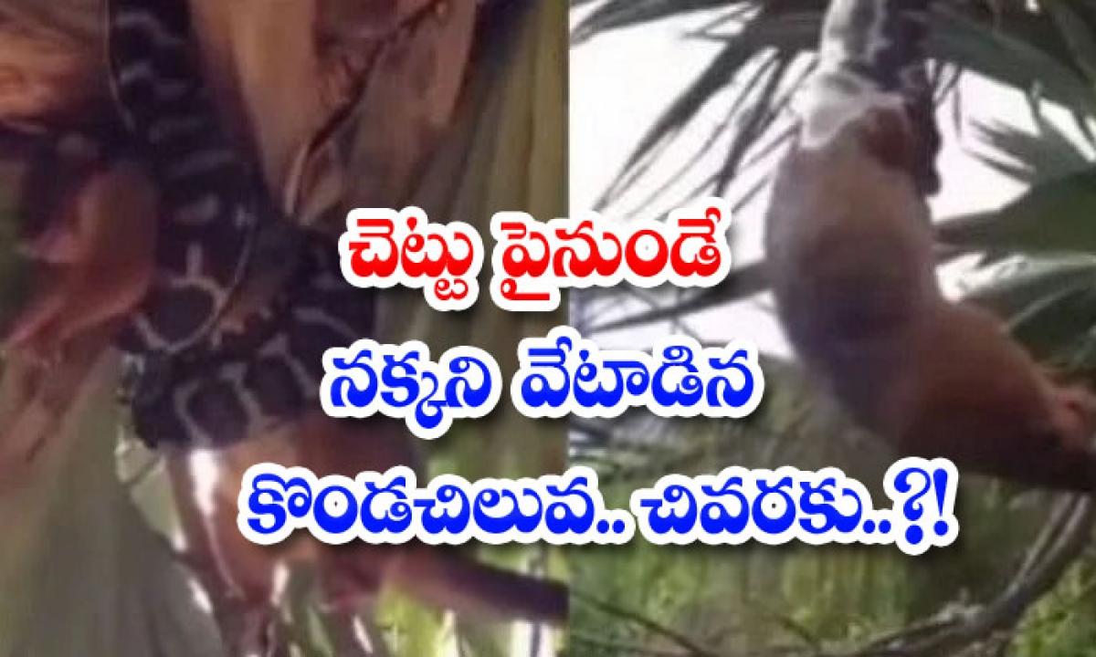 Video Viral A Python Hunting A Fox From A Tree Finally-వీడియో వైరల్: చెట్టు పైనుండే నక్కని వేటాడిన కొండచిలువ.. చివరకు..-General-Telugu-Telugu Tollywood Photo Image-TeluguStop.com