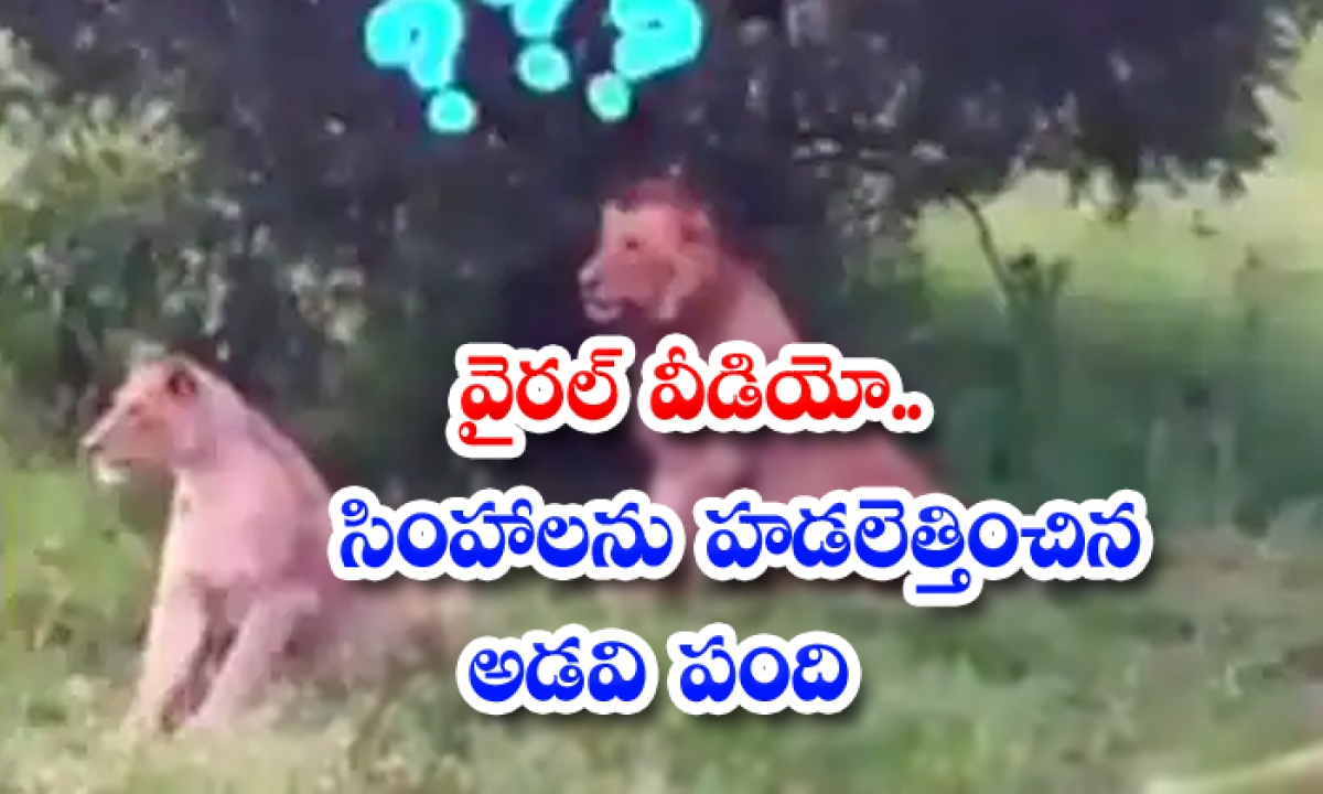 Viral Video Wild Boars Chasing Lions-TeluguStop.com