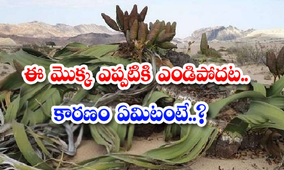 Viral This Plant Dries Up Forever What Is The Reason-వైరల్: ఈ మొక్క ఎప్పటికి ఎండిపొదట… కారణం ఏమిటంటే..-General-Telugu-Telugu Tollywood Photo Image-TeluguStop.com
