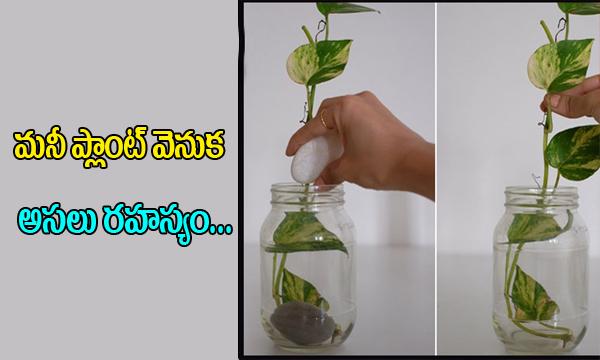 Shocking Facts About Money Plant I Mana Health