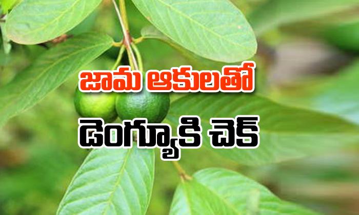"Guava Leafs Control High Fever-""డెంగ్యూ వ్యాధికి"" జామ ఆకులతో చెక్-Telugu Health - తెలుగు హెల్త్ టిప్స్ ,చిట్కాలు-Telugu Tollywood Photo Image-TeluguStop.com"