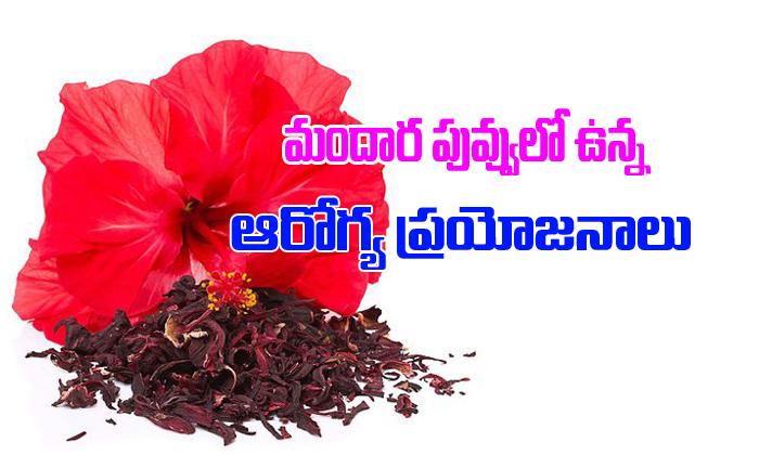 Health Benefits Of Hibiscus Flower-మందార పువ్వులో ఉన్న ఆరోగ్య ప్రయోజనాలు-Telugu Health-Telugu Tollywood Photo Image-TeluguStop.com