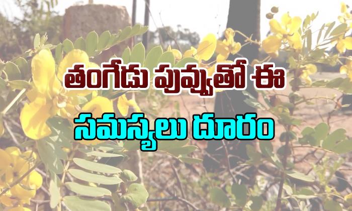 Health Benefits Of Tangedu Puvvu-TeluguStop.com