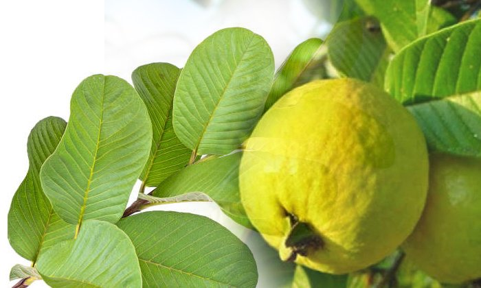 Health Benefits Of Guava Leaves-TeluguStop.com