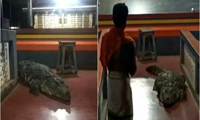 Crocodile Enters Kerala Temple Leaves After Priests Request-గుడి లోకి వచ్చిన మొసలి… పూజారి మాటవిని వెనకడుగు-Devotional-Telugu Tollywood Photo Image-TeluguStop.com