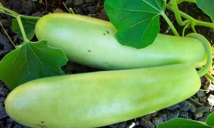 Health Benefits Of Bottle Gourds-వామ్మో.. సొరకాయతో ఇన్ని ఆరోగ్య ప్రయోజనాలు ఉన్నాయా-Latest News - Telugu-Telugu Tollywood Photo Image-TeluguStop.com