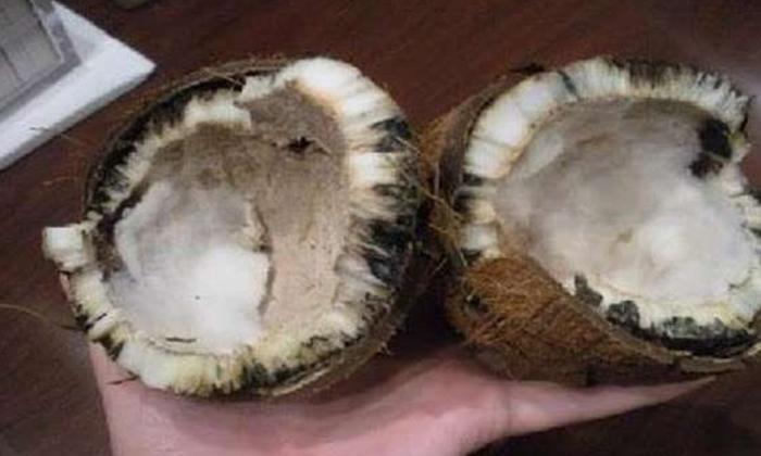 Spoiled Coconut Appears When Break It Before God-TeluguStop.com