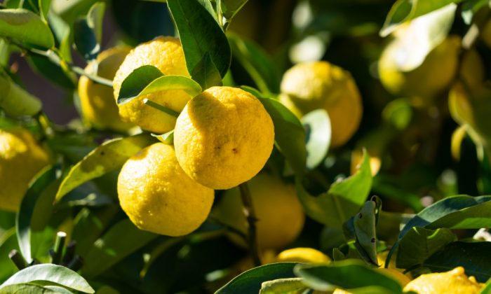 Citron Fruit Helps To Reduce Diabetes-డయాబెటిస్కు చెక్ పెట్టే దబ్బ పండు.. ఎలా తీసుకోవాలంటే-Latest News - Telugu-Telugu Tollywood Photo Image-TeluguStop.com
