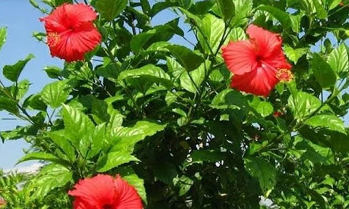 Hibiscus Leaves For Hair Problems-TeluguStop.com