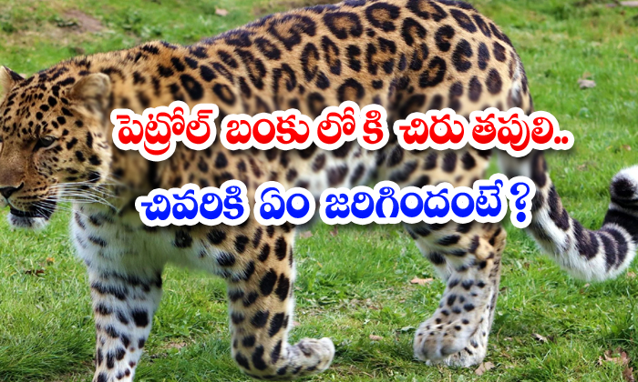 TeluguStop.com - Leopard Into The Petrol Bunk What Happened In The End