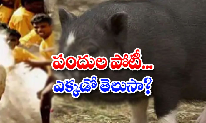 Pigs Jallikattu Competitions-TeluguStop.com
