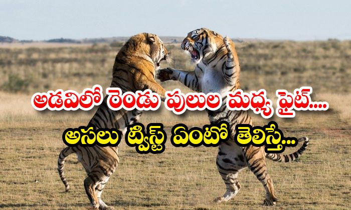 TeluguStop.com - Fight Between Two Tigers In The Forest If You Know The Real Twist