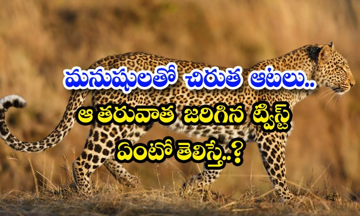 TeluguStop.com - Leopard Games With Humans What If You Know The Twist That Happened After