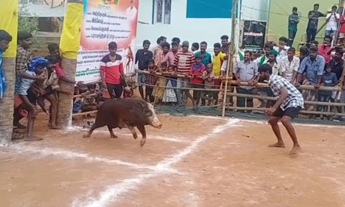 Pigs Jallikattu Competitions-పందుల పోటీ…..ఎక్కడో తెలుసా-General-Telugu-Telugu Tollywood Photo Image-TeluguStop.com
