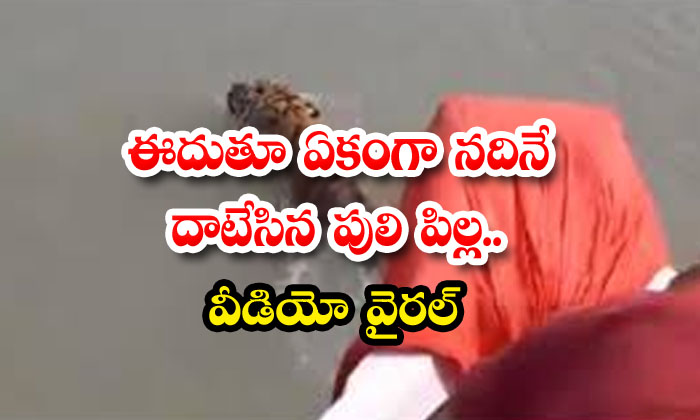 Tiger Cub Crossing The River While Swimming Video Goes Viral-TeluguStop.com