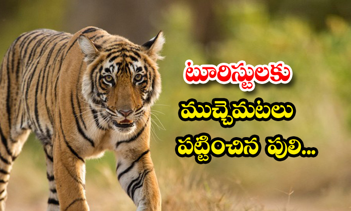 Viral Video Tourists Tiger Social Media-TeluguStop.com