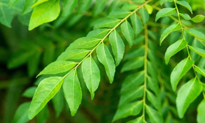 Telugu Curry Leaves, Health Benefits, Health Care, Health Tips-Latest News - Telugu