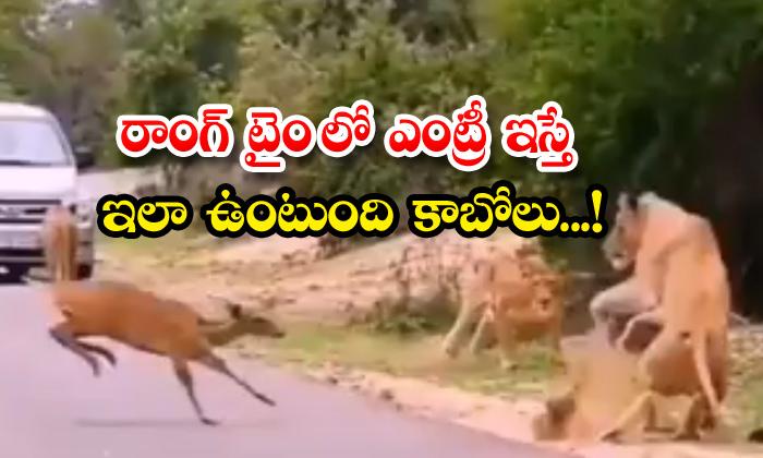 Viral Video Lions Scared Of Deer-TeluguStop.com
