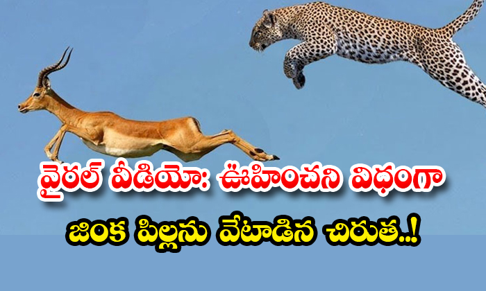 TeluguStop.com - Viral Video Leopard Hunts Deer Cubs Unexpectedly