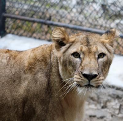 Bengaluru Zoo Gifts 3 Lions To Belagavi Zoo-Environment/Wildlife News-Telugu Tollywood Photo Image-TeluguStop.com