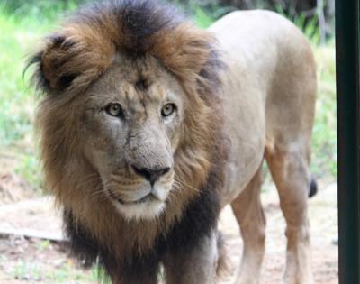 Bengaluru Zoo Gifts 3 Lions To Belagavi Zoo-TeluguStop.com