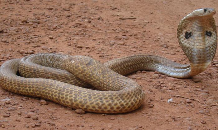 Snake Appears On Road At Ghmc Office In Hyderabad-జీహెచ్ఎంసీ ప్రధాన కార్యాలయం ముందు ట్రాఫిక్ జాం చేసిన నాగుపాము.. -Breaking/Featured News Slide-Telugu Tollywood Photo Image-TeluguStop.com